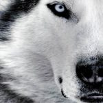 مثل گرگ باش مغرور