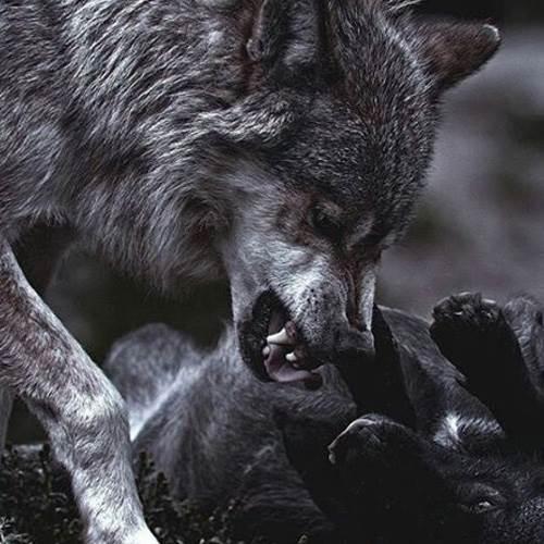 گرگ ها را دوست دارم